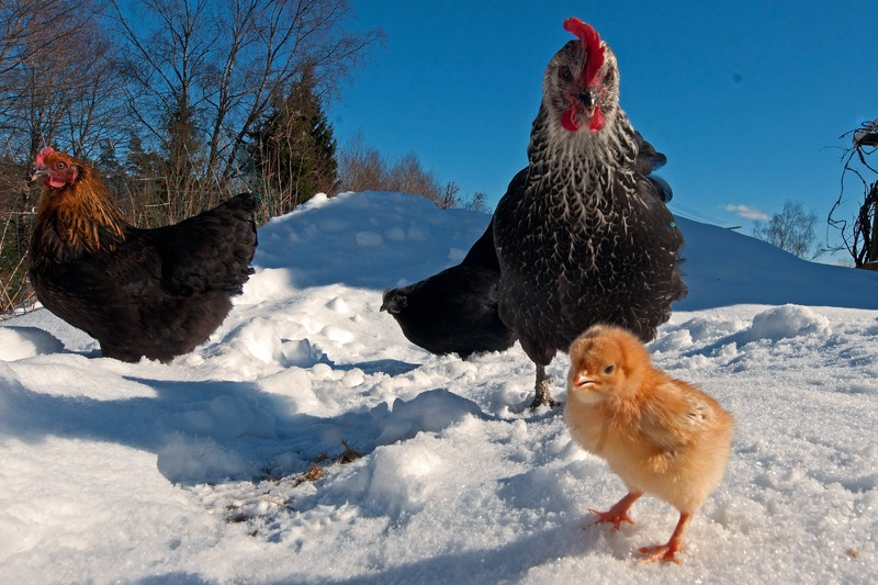 How to Protect Chicken From Predators?