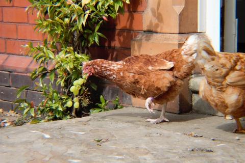 free range battery hens eating graped