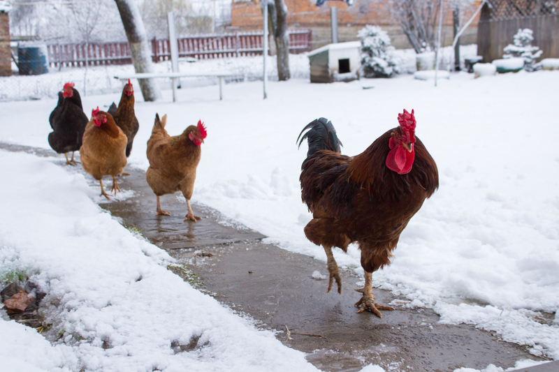 chickens frolicking in the snow